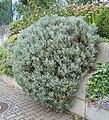 Lavandula angustifolia in Geisenheim.jpg