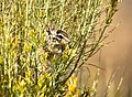 Least Chipmunk on Seedskadee National Wildlife Refuge (29073556630).jpg