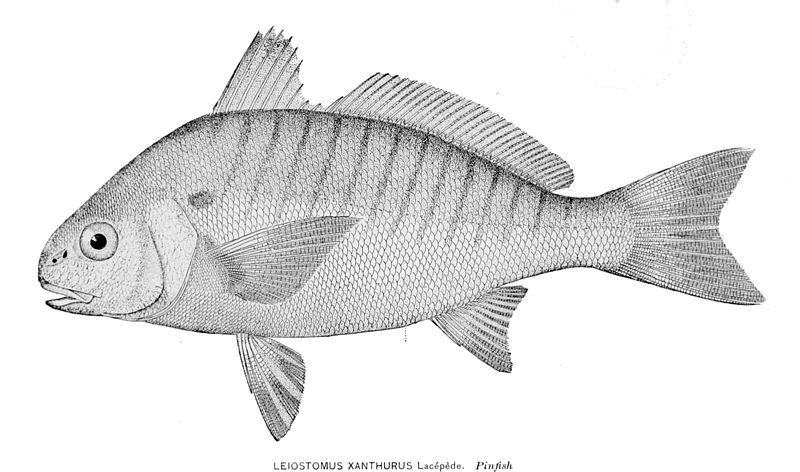 File:Leiostomus xanthurus.jpg