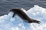 Lemiare Channel Leopard Seal 2 (40371832163).jpg