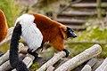 Lemur (26992366968).jpg