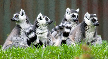 Lemur catta 02 - by Chris Gin.jpg
