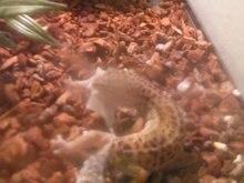Dosiero: Leopardo Gecko Shedding Skin.ogv