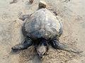 Lepidochelys olivacea dead at Rushikonda beach 01.JPG