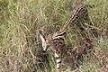 Leptailurus serval Maasai Mara 2012-08.JPG