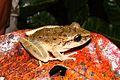 Leptodactylus bolivianus - Flickr - Dick Culbert.jpg
