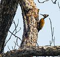 Lesser Flameback Woodpecker.jpg