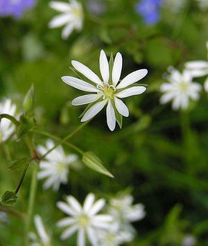 Stellaria - Lesser stitchwort, Stellaria graminea