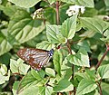 Lesser Zebra (Pathysa macarens) at Samsing, Duars, West Bengal W IMG 6370.jpg