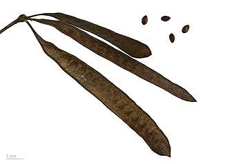 Leucaena leucocephala - Leucaena leucocephala - MHNT