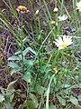 Leucanthemum vulgare 09.jpg