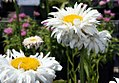Leucanthemum x superbum Crazy Daisy 2zz.jpg