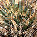 Leuchtenbergia principis 2.jpg