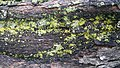 Lichen on Wood.jpg