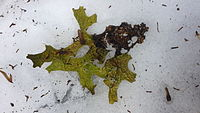 Lichen on snow.jpg