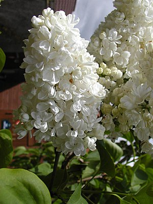 Syringa - A white, double-flowered cultivar