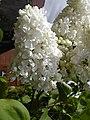Lilac.head.600pix.jpg