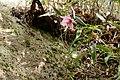 Lilium japonicum 'Hyuga form'.jpg