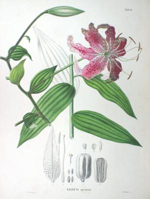 Lilium speciosum - Image: Lilium longiflorum SZ12