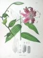 Lilium longiflorum SZ12.png