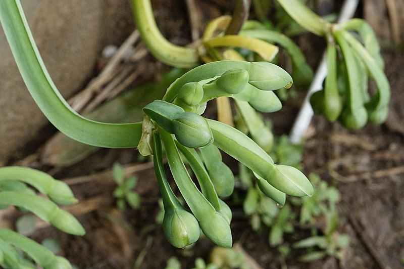 File:Limnocharis flava 3390.jpg