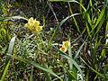 Linaria vulgaris - 06.jpg