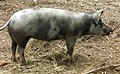 Linderödssvin på Ekehagen 6807.jpg