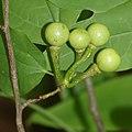 Lindera triloba (fruits s4).jpg