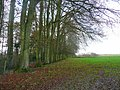 Line of beeches - geograph.org.uk - 1052790.jpg