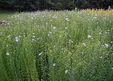 Linum-ground-cover.JPG