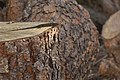 Liolaemus pictus argentinus.jpg