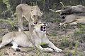 Lion (Panthera leo krugeri) 06.jpg
