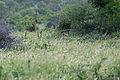 Lion in the grass (16517886018).jpg