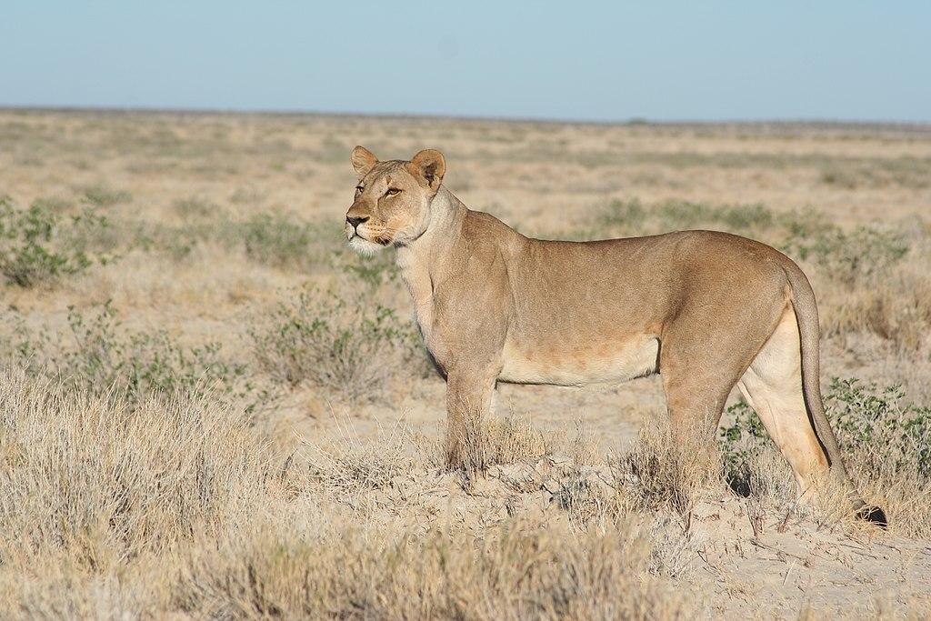 Przedstawiciel rodzaju – samica lwa afrykańskiego (P. leo)
