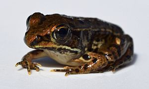 Southern leopard frog - Image: Lithobates sphenocephalus UMFS 1