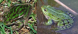 Green and golden bell frog - Litoria aurea (left) was first classed as a species of the genus Rana (right). There are many physical similarities, including a pointy snout, long legs, and almost complete toe webbing. The overall body shape is similar to many Rana species.