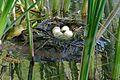 Little Grebe (Tachybaptus ruficollis) eggs and nest ... (26580418992).jpg