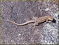 Lizard, Joshua Tree NP 4-13-13a (8661303504).jpg
