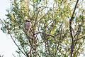 Loggerhead Shrike (23202775669).jpg