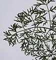 Lomatium dissectum var. dissectum leaf.jpg