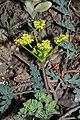 Lomatium martindalei 5221.JPG