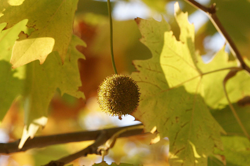 Bestand:London plane flower.jpg