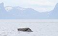 Long-finned pilot whale (Globicephala melas).jpg