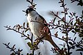 Long-tailed Shrike 1.jpg