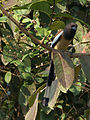 Long Tailed bird.jpg