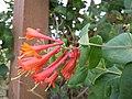 Lonicera x brownii Dropmore Scarlet (4991688280).jpg