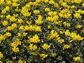 Lotus cytisoides (habitus).jpg