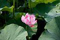 Lotus in July.jpg
