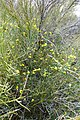 Lotus rigidus - Shrubby Deervetch in a Palo Verde,Sonoran Desert, Late Winter 2013 - panoramio.jpg