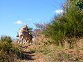Loups de Mongolie (Canis lupus chanco)3.JPG